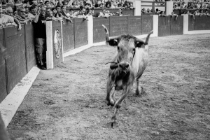 Bous al Carrer A bull, just entered the ring. Plaza de Toros, Ondara, Alicante, Spain. July 2007.