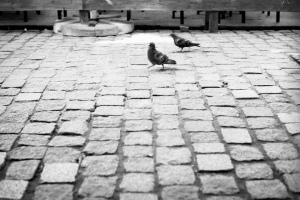 Pigeons gooving Poznan July 2010